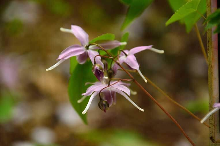 Does horny goat weed raise testosterone