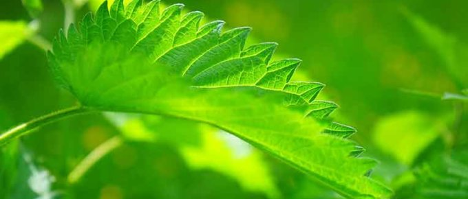 Nettle Root and Leaf