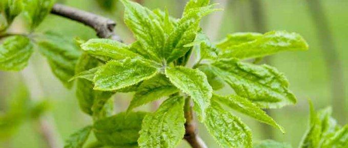 Siberian Ginseng Supplements