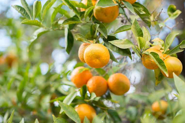 Satsuma Mandarin extract is good for you