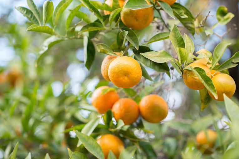 Satsuma Mandarin extract is good for you