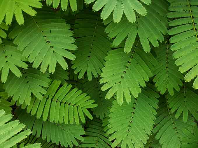 Senegalia Berlandieri – New Acacia Extract – Natural Amphetamines?
