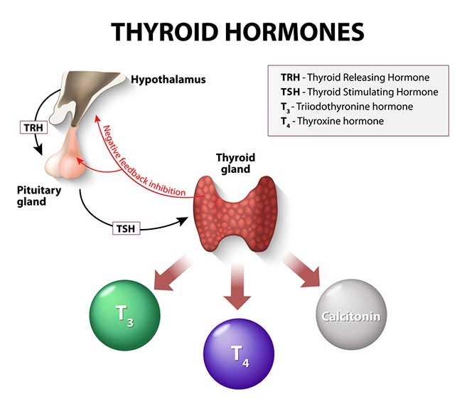 Thyroid-Stimulating Hormone and Body Weight